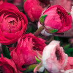 Fond d'écran de roses